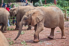 David Sheldrick Elephant Orphanage - Alamaya 8 (Grete Howard LRPS) Tags: safariinafrica safari whichsafaricompany bestsafaricompany calabashadventures travel holiday africa kenya elephants davidsheldrickwildlifetrust elephantorphanage wildelife animals nairobi
