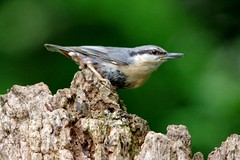 IMGP2975 Nuthatch, Lackford Lakes, May 2016 (bobchappell55) Tags: wild bird nature suffolk wildlife lakes reserve trust nuthatch damp lackford wodland
