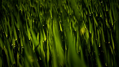Just green. (p_urawski) Tags: summer sun green nature monochrome grass garden mono spring grn
