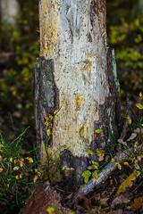 Baumstumpf ohne Rinde (Schmiddi1990) Tags: herbst baum rinde baumstamm kranker krankerbaum