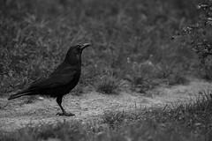 Corneille noire - Corvus corone - Carrion Crow (bourdinm2002) Tags: corneille crow carrion noire corvus corone