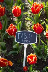 Tulip Fest (18 of 26) (evan.chakroff) Tags: flowers festival washington spring unitedstates tulips tulip april mountvernon tulipfestival mtvernon roozengaarde 2016