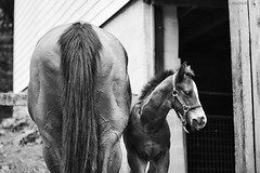 (Jen MacNeill) Tags: blackandwhite bw horse baby animal spring mare colt thoroughbred equine foal