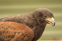 Harris's Hawk (jaynenh@gmail.com) Tags: bird vt vins