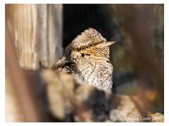 DS0D5288-Wryneck,-jynx-torquilla (duncancooke.happydayz) Tags: uk bird nature birds wildlife may british isle jynx wryneck torquilla distinguishedbirds birdperfect naturesgreenpeace