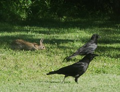 Rabbit and crows. (Gerald Barnett) Tags: usa sunlight black rabbit bunny green bunnies bird nature beautiful beauty grass birds closeup fur outdoors illinois furry peace availablelight wildlife birding feathers peaceful tranquility naturallight aves calm harmony serenity serene summertime crow rabbits pajaro inspirational crows contemplative ornithology birdwatching oiseau tranquil av avian vogel avis uccello wildanimals greengrass serenitynow bestpic wildbirds northamericanbirds perfectphoto wildlifephotography naturalcolor sunlightandshadows perfectpicture birdcloseup perfectpic birdsasart birdsofnorthamerica northamericananimals sunlightandshade illinoiswildlife illinoisbirds birdsinnature birdsinillinois illinoisanimals animalsinillinois