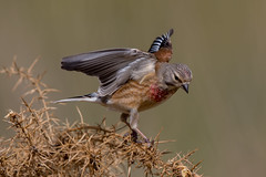 Linnet (Simon Stobart (trying to catch up)) Tags: flying branch landing northeastengland