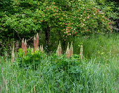 Open Meadow. (Omygodtom) Tags: wild nature fog digital outdoors mono nikon open natural hiking meadow scene trail setting wildflower d7100 nikon70300mmvrlens