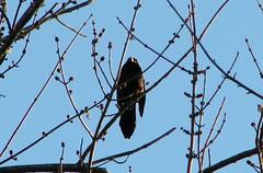 Sturnus vulgaris --  Starling 4938 (Tangled Bank) Tags: america south roadtrip american roadside dixie starlings vulgaris sturnus 4936