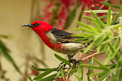 Scarlet Honeyeater (aussiegypsy_tropical FNQld) Tags: red wild bird nature crimson animal forest woodland scarlet outdoors sitting breast view head wildlife side small profile australian australia rump tiny qld queensland perch tropical honeyeater perched bottlebrush aussie farnorth tropics eastcoast sideon callistemon atherton birdlife fnq athertontablelands tnq myzomelasanguinolenta lorraineharris