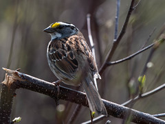 White-throated Sparrow, Thomas Howe (frank.king2014) Tags: whitethroatedsparrow