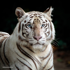 Portrait (syphrix photography) Tags: wild portrait white nature animal canon fur zoo singapore outdoor wildlife tiger reserve conservation chinchilla species endangered bengal tigris captivity creamy panthera 2016 threatened albinistic pheomelanin syphrix