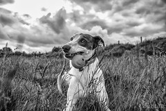Wanna Play Ball? (Shastajak) Tags: blackandwhite dog greyhound monochrome ball sql bullterrier sighthound rehomed rescued lurcher crossbreed gazehound ballonarope iknowitsasillyname pronouncedsequel littledoglaughedstories littledoglaughednoiret