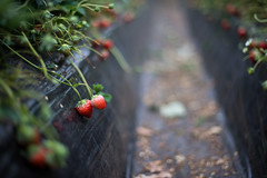 (23fumi) Tags: plant fruit nikon dof bokeh cosina voigtlander 58mm nokton strawbelly d600      voigtlandernokton58mmf14slii