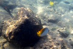 Kailua Pier Diving - VII (Anders Magnusson) Tags: water hawaii snorkel dive diving olympus thebigisland eastcoast kailua kailuakona andersmagnusson