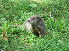 Groundhog (jdf_92) Tags: indiana woodchuck groundhog bloomington marmotamonax clearcreektrail