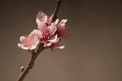 Peach flowers (Arzivenkos) Tags: macro nikon d70 flor peach flore ptalas pssego estames