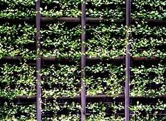 Thong Lo - Bangkok (35mm) (jcbkk1956) Tags: street plants green film analog 35mm fence thailand bangkok greenery manual lattice carlzeiss kodacolor200 thonglo contaxrts 45mmf28
