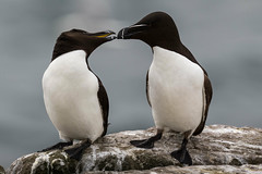 Give us a Kiss! (irelaia) Tags: bird kiss romance northumberland farneislands razorbill innerfarne