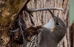 white-throated treecreeper (Cormobates leucophaea)-2497 (rawshorty) Tags: birds australia canberra act sandwash rawshorty