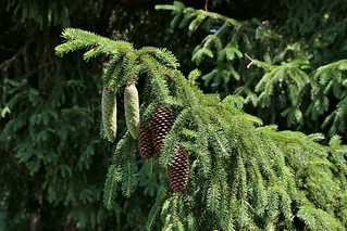 OLD AND NEW-BLUE SPRUCE CONES