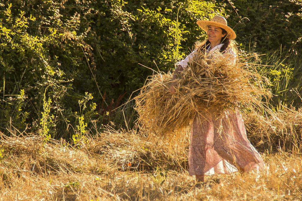 Moisson du blé 03/07/2016