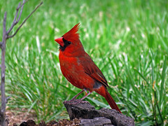 IMG_2875 (lbj.birds) Tags: bird nature cardinal wildlife kansas flinthills northerncardinal