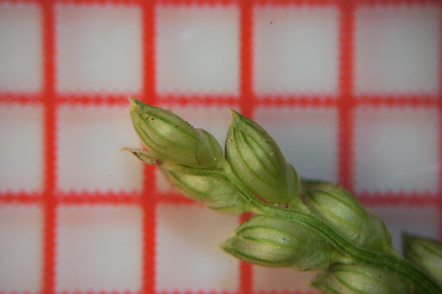 Paspalidium distans spikelets7 NWS 130