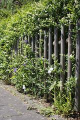 ckuchem-3589 (christine_kuchem) Tags: blte brgersteig garten gehweg glockenblumen hecke liguster naturgarten spontanwegetation zaun naturnah natrlich