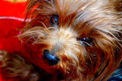 Bella (marcelasencion) Tags: yorkie puppy yorkshire