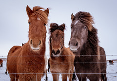 Three Buds (Dan Fleury) Tags: travel wild horse nature animals is iceland outdoor south