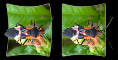 Large Milkweed Bug, Oncopeltus Fasciatus 4 - Crosseye 3D (DarkOnus) Tags: macro beautiful closeup bug stereogram 3d crosseye phone pennsylvania butt large cell 8 stereo mate milkweed thursday stereography buckscounty huawei crossview oncopeltus fasciatus bbbt beautifulbugbuttthursday hbbbt darkonus