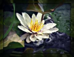 Lily (patrick.verstappen) Tags: lelie lily flower water texture textured twitter textuur bloem photo picassa pinterest pat picmonkey plant ipernity ipiccy yahoo belgium gingelom google garden flickr facebook d7100