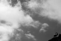 Aside (darioseventy) Tags: stambecco bouquetin montagna mountain sky cielo nuvole clouds controluce backlight bn bianconero bw blackandwhite animali animals alps alpi valledaosta altitude minimalism minimalismo minimal