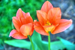 Two orange Tulips Flowers (Anton Shomali - Thank you for over 700K views) Tags: two orange tulips twoorangetulips flower flowers double twin green blue spring summer garden yard flickr