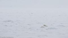 Polar Bear (Ursus maritimus) (M Carmody Photography) Tags: barentssea marinemammal markcarmodyphotography markcarmody nationalgeographic polarbear seaice bear canon carmody expeditions ice lindblad mammal mark norway polar snow svalbard adult cub cubs expedition marine sea arctic land ocean arcticocean circumpolar ursus maritimus ursusmaritimus mc7d0476