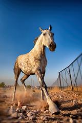 Frenada (MiOmbligo) Tags: frenada horse mare caballo gallop yegua trot braking galope trote ruano