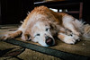 IMG_9011.jpg (VoelkSwaggin) Tags: dog dogs goldenretriever canon golden sleepy canonefs1855 vsco canoneos7d canonefs1855mmf3556is canon7d
