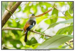 Silver-breasted Broadbill   银胸丝冠鸟 (lamkokho) Tags: wild bird net leaf nikon wildlife sigma malaysia build pahang bukittinggi broadbill silverbreasted 银胸丝冠鸟