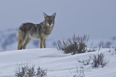 Coyote in Yellowstone Park (barragan1941) Tags: coyote yellowstone animales mammals mamiferos canidos