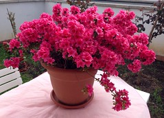 Azalea Blooming in My Garden (giannipaoloziliani) Tags: flowers italy house milan color primavera nature garden spring colore purple natura jar flowering azalea fiori vaso giardino blooming fioritura fuxia