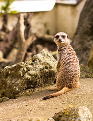 meerkat_paradise wildlife park (gondamilan) Tags: animals canon photography meerkat wildlife meerkats paradisewildlifepark