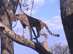 Cheetah on the branch