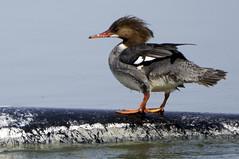 Common Merganser (f) (Becky Matsubara) Tags: duck nikon sanrafael commonmerganser merganser d300 lasgallinas lasgallinaswildlifeponds nikond300 afsnikkor80400mmf4556gedvr