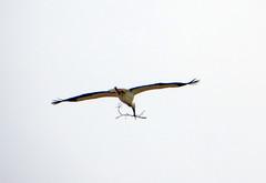 IMG_2669 one more stick for my house... (pinktigger) Tags: italy bird nature fly italia flight stick stork cegonha cigea friuli storch ooievaar fagagna cicogne cicogna oasideiquadris feagne