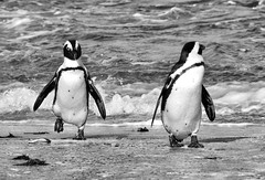 penguins going for a waddle (paddy_bb) Tags: travel sky bw cloud seascape water southafrica coast penguins za westerncape bettysbay 2015 nikond5300 paddybb