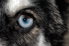 Demon Auge (BruceHaase) Tags: blue dog eye look fashion landscape tiere eyes nikon fotografie bruce style hund bremen blau bild landschaft auge tier facebook haase walle fotographie huskys spieglung d7100