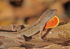 CAC016925a (jerryoldenettel) Tags: lizard anole fl lantana reptilia anolis 2015 brownanole squamata iguania anolissagrei polychrotidae palmbeachco lantananaturepreserve