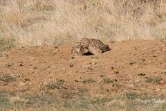 Kissing Burrowing Owls?
