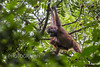 Wild Orangutans at Borneo Rainforest Lodge (robsall) Tags: travel vacation canon mammal malaysia borneo orangutan canoneos sabah orang orangutans pongopygmaeus orangs ecolodge brl danumvalley rainforestlodge lahaddatu borneorainforestlodge danumvalleyconservationarea canon5dmarkiii 5dmarkiii 5dm3 5dmark3 5dmiii robsall canon5dm3 canoneos5dm3 robsallphotography danumvalleyconservation